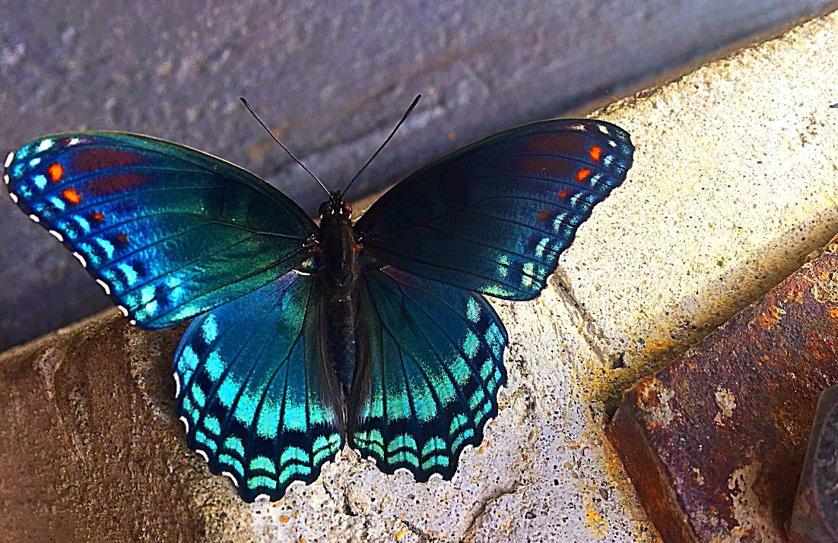 Blue Swallowtail Blessings